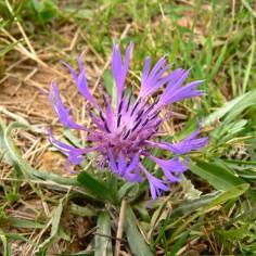 Centaurea-triumfetti-lingulata
