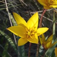 Tulipa-sylvestris-australis