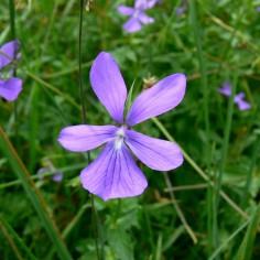 Viola-cornuta
