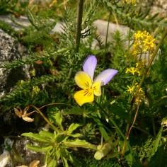 Viola-saxatilis