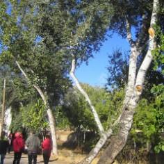 álamo (Populus alba)