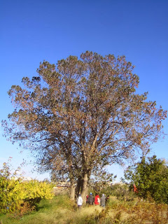 fresno (Fraxinusangustifolia)