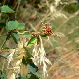 BOTÁNICA. Excursión para identificar las rosas silvestres