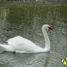 Cisne Vulgar (Cygnus olor) Parque del Agua