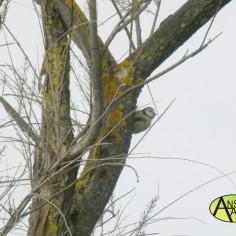 Herrerillo Común (Parus caeruleus) Soto Ranillas 2