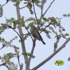Mosquitero-papialbo (Phylloscopus bonelli)