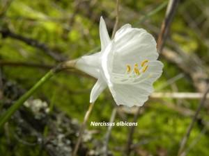 Narcissus albicans