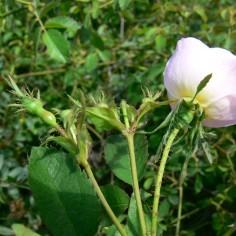 Rosa deseglisei