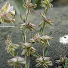 Callipeltis-cucullaria