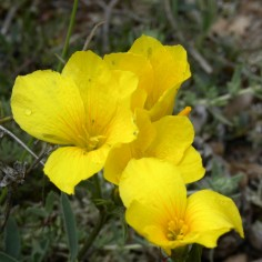 Linum-campanulatum