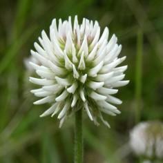 Trifolium-montanum
