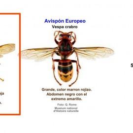 Proyecto para el control de la avispa asiática