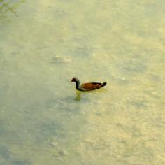 Gallineta común o polla de agua (Gallinula chloropus)
