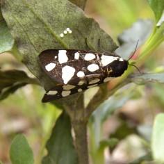 Arctia villica (desovando)