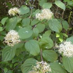 Cornus sanguinea (Cornejo)