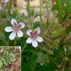 Erodium gaussenianum