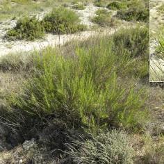 Gypsophila struthium hispanica (Albada)