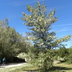 Populus nigra (Chopo negro)
