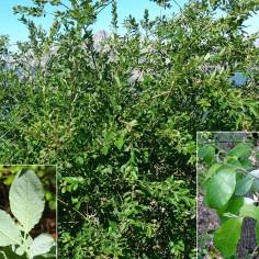 Salix caprea (sauce cabruno)