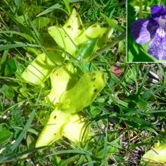 Pinguicula grandiflora (grasilla)