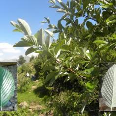 Sorbus aria (mostajo)