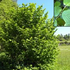 Corylus avellana (avellano)
