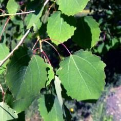 Populus tremula (tremolata)