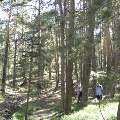 Ambiente de pino royo