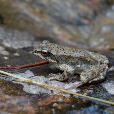 Rana pirenaica (Rana pyrenaica).