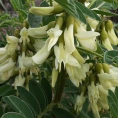 Eophaca baetica