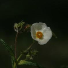 Cistus monspeliensis