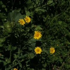 Glossopappus macrotus