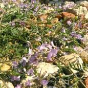 Astragalus austriacus