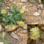 Astragalus turolensis
