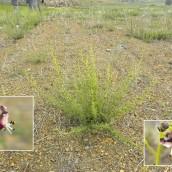 Scrophularia canina crithmifolia