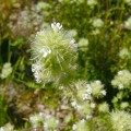 Thymus mastichina. Rebollar de Hacinas
