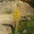 Verbascum pulverulentum. Castillo de Hacinas