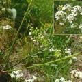 Anthryscus sylvestris