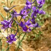 Consolida pubescens