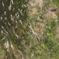 Deschapsia flexuosa