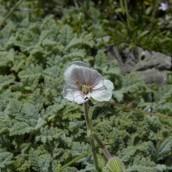 Erodium celtibericum