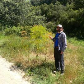 BOTÁNICA. Opopanax chironium, planta rara en Aragón
