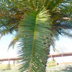 Fronde pinnado de Phoenix canariensis