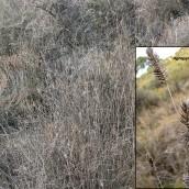 Asociación Agropyro pectinati-Lygeetum sparti. La Calera. Peñaflor