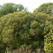 Asociación Rhamno lycioidis-Quercetum cocciferae. La Calera. Peñaflor