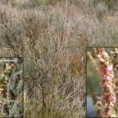 Mezcla de las asociaciones Salsolo vermiculatae-Artemisietum-herba albae (Ontinar) y Salsolo vermiculatae-Peganetumharmalae (Sisallar) La Calera. Peñaflor