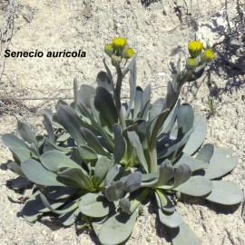 Botánica- Flora del Barranco del Portazgo. Osera (Zaragoza)