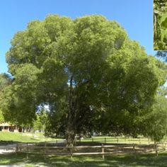 Almez (Celtis australis). Parque Bruil