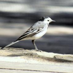 Lavandera blanca ( Motacilla alba). Parque Bruil