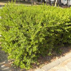 Mirto o Arrayán (Myrtus communis). Parque Grande